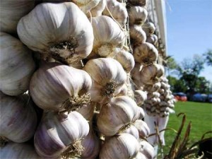 Garlic bulbs hanging