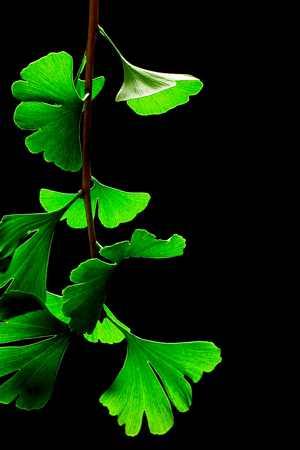 ginkgo-Ginkgo-biloba-leaves