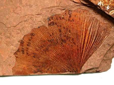 Ginkgo biloba leaf fossil
