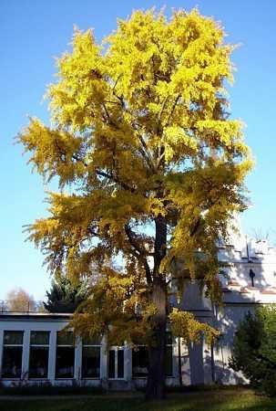 Ginkgo biloba Autumn