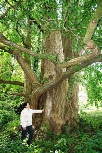 Ginkgo biloba very old tree