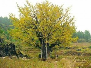 Ginkogo-old-tree-china Ginkgo