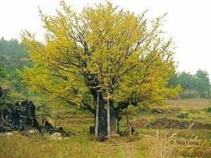 Ginkogo-old-tree-china Ginkgo