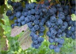 Grape Growing Grapes Spain