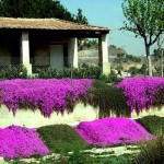 gardening ground-cover-5-mauve
