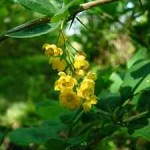 gardening hedge-Berberis