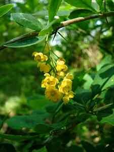 hedge-Berberis HEDGES