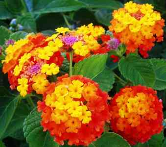HEDGES hedge-Lantana
