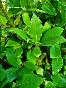 hedge-Laurus nobilis