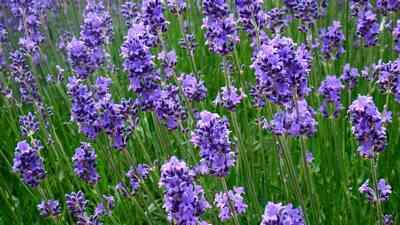 hedge-Lavender
