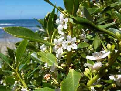 hedge-Myoporum