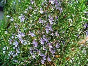 hedge-Rosemary HEDGES