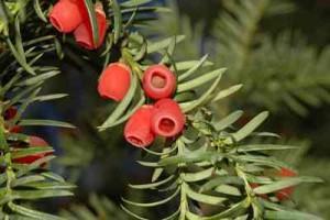 hedge-Yew HEDGES