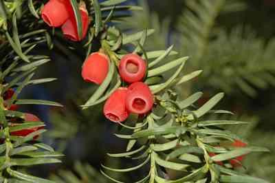 hedge-Yew
