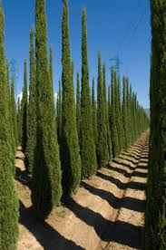 hedge-cupressus-sempervirons HEDGES