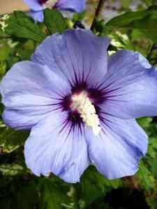 hibiscos blue