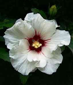 hibiscus white single