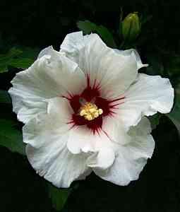 hibiscos white single