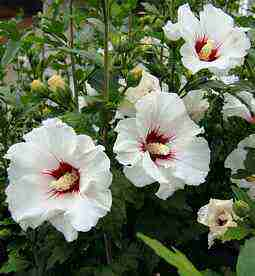Hibiscus Syriacus Rose Of Sharon Althea Hibiscus Spain Info