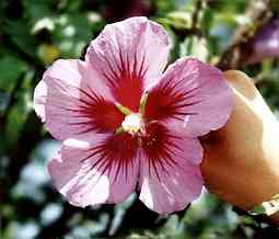 hibiscos pinky