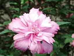 hibiscos pinky double