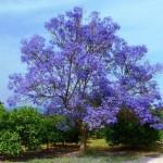 gardening jacaranda tree