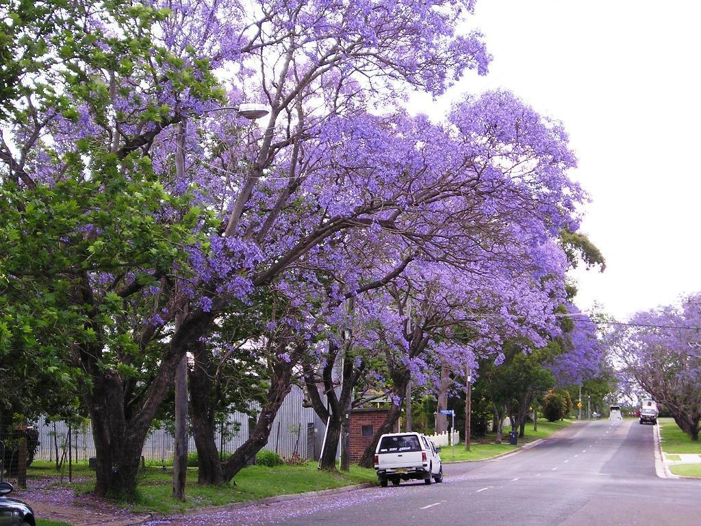 Jacaranda Trees Delicate Fern Like Leaves Purple Flowers