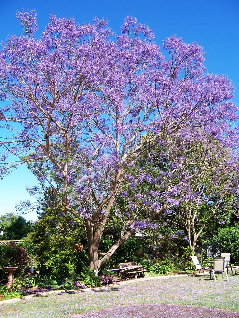 Jacaranda Trees Spain delicate fern like leaves purple ...