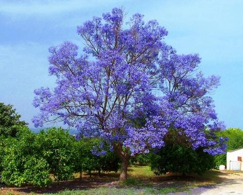 Jacaranda Trees Spain Delicate Fern Like Leaves Purple Flowers
