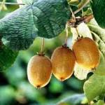 gardening kiwi-fruit-Kiwi, 2