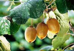 kiwi-fruit-Kiwi, 2 kiwi fruit