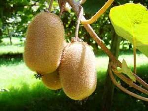 kiwi-fruit-Kiwi, 6 kiwi fruit