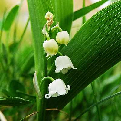 lilly-of-the-valley1