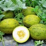 gardening spanish-melons