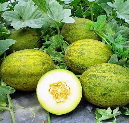 spanish melons
