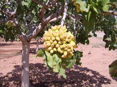 pistachio nuts tree
