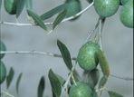 green-olives Olive Oil