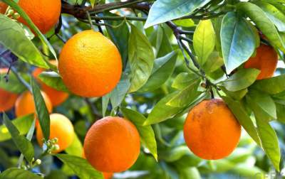 Orange Trees Cultivation Pips Plus Grafting Methods