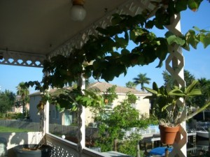 Grape Growing patio-grapes