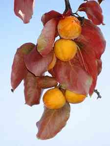 Persimmon Fruit Trees