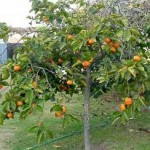 gardening persimon-tree