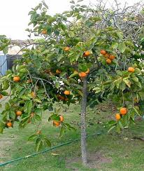 Persimmon tree Persimon Fruit Trees