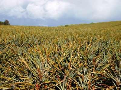 Pineapple field,