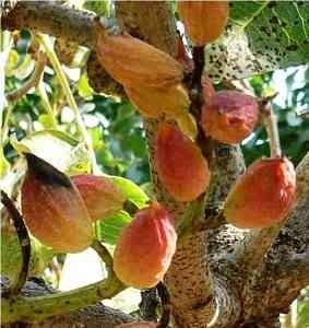 nueces de pistacho frutas