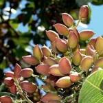 gardening pistachio nuts