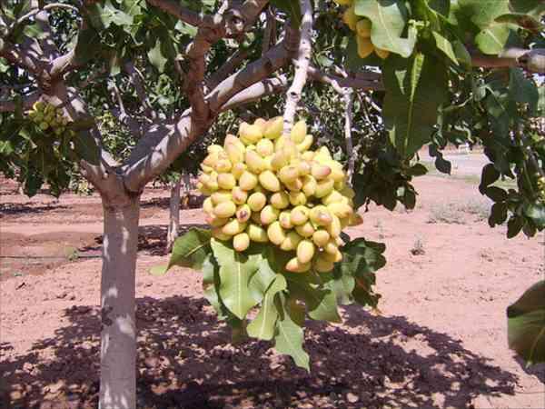 pistachio nuts tree