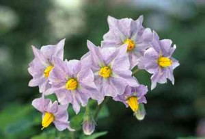 potatoes-Potato flowers potatoes