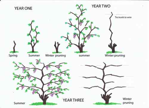 Grape growing spain using containers so as to grow on - Difference between wine grapes and table grapes ...