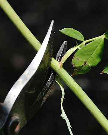 rose Remove shoot by cutting just above a node