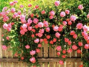 Roses Epsom Salts